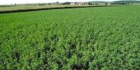 silage_zone_alfalfa_grow
